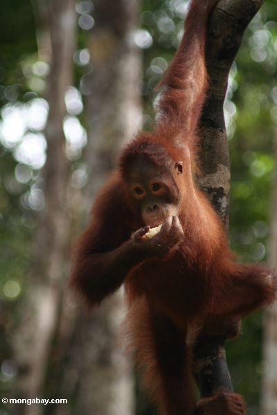 Junges orangutan Einziehen auf Frucht