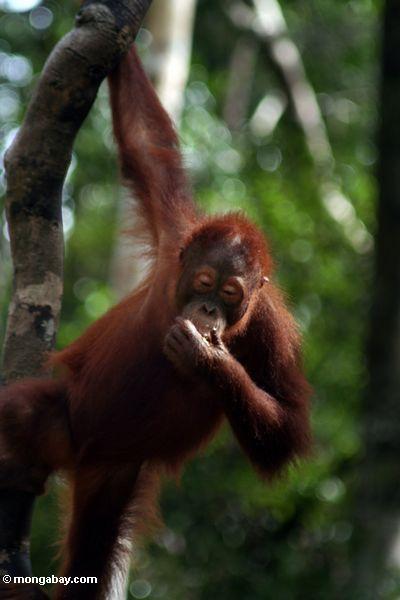 Junges orangutan Hängen vom Baum