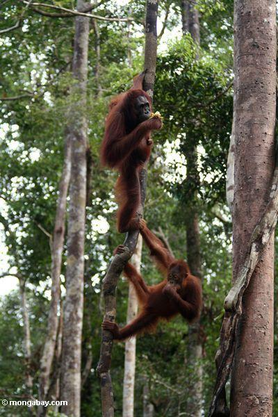 Pair of Bornean orangutans climbing a large liana in Borneo. Photo by: Rhett A. Butler.