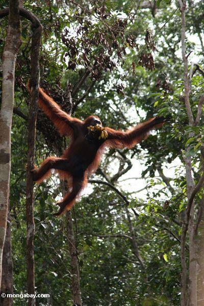 Kletterndes Orangutan, beim Halten eines Bündels Bananen in seiner öffnung