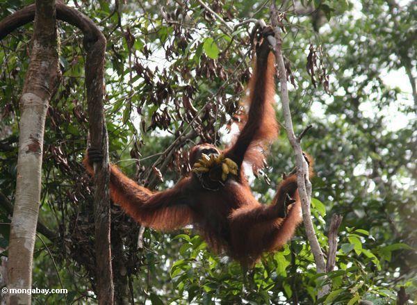 Orangutan in den Bäumen mit einem Bündel Bananen