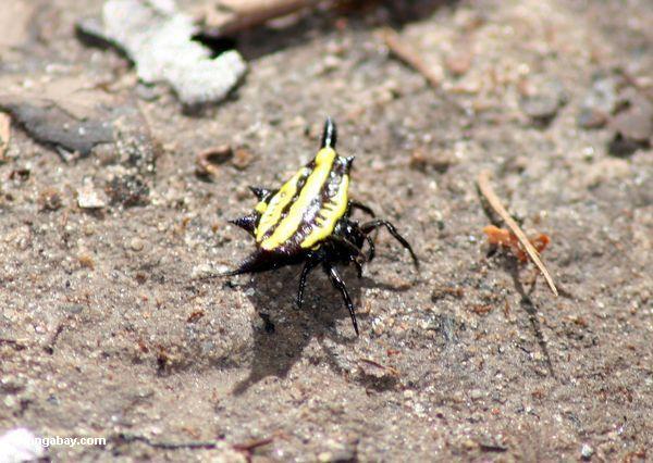 желтый и черный рогатый паук