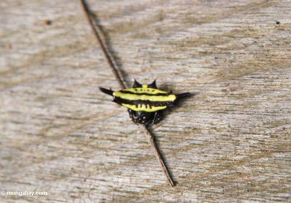 Gelbe und schwarze gehörnte Spinne