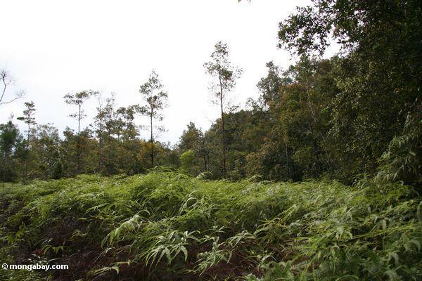 Farne kolonisierten diesen Flecken des Waldes gelöscht für Reis auffängt