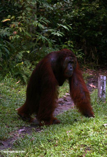 Erwachsener männliches Orangutan, das mit den Armen auf Boden Kalimantan