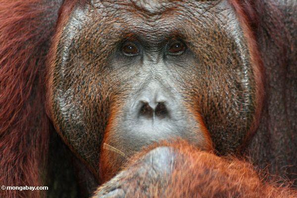 Ex-Gefangener Erwachsener männliches Orangutan (Pongo pygmaeus)