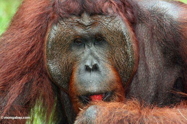Rehabilitierter Erwachsener männliches Orangutan (Pongo pygmaeus) eine Rambutanfrucht Kalimantan
