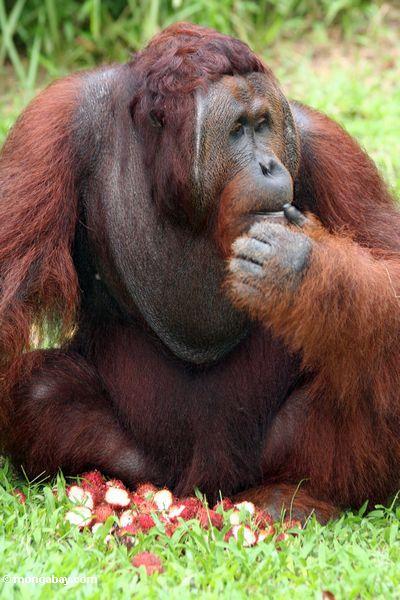 Rehabilitierter Erwachsener männliches Orang-utan (Pongo pygmaeus) verloren im Gedanken über einem Stapel der Rambutanfrucht