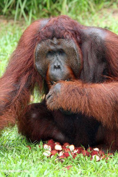Rehabilitierter Erwachsener männliches Orang-utan (Pongo pygmaeus) mit einem Stapel der Rambutanfrucht