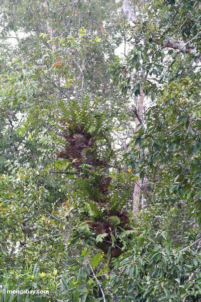 staghorn папоротников, растущих деревьев