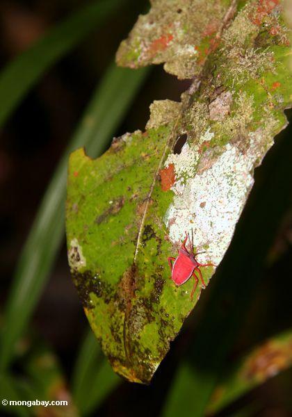 Helles rotes Insekt