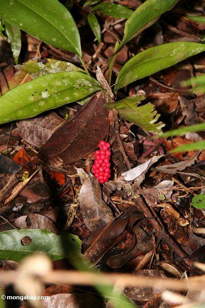 Rote Früchte auf rainforest Strauch