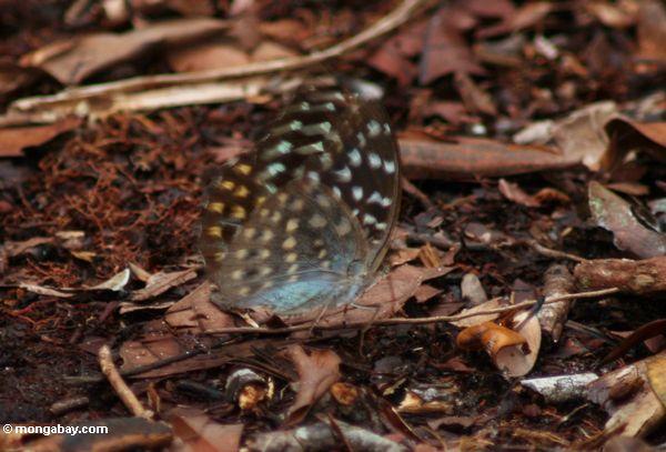 Gelber, grünen und orange-beschmutzter Schmetterling mit blauen underparts