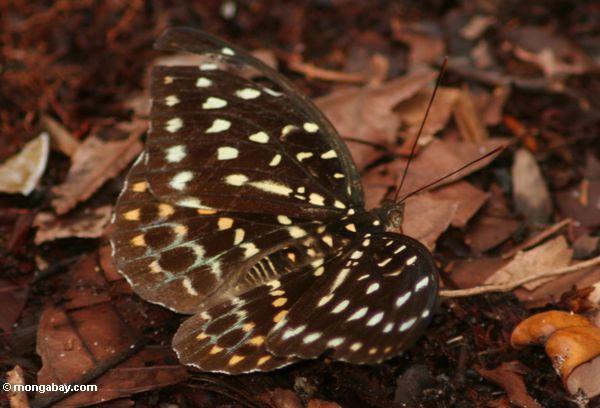 Gelber, grünen und orange-beschmutzter Schmetterling im Borneo Dschungel