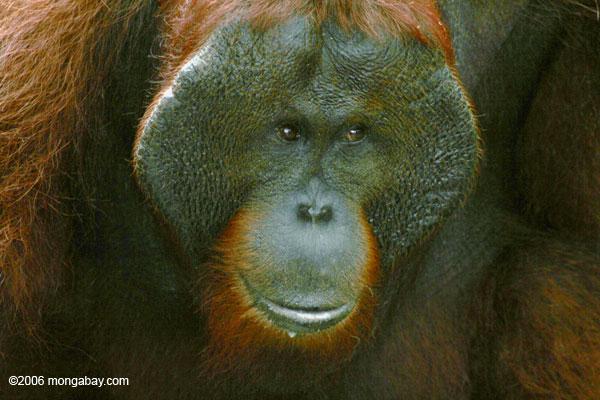 Erwachsener männlicher Borneo Orang-utan (Pongo pygmaeus) bei Pondok Tanggui