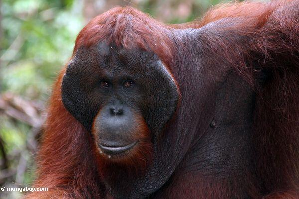 Ex-Gefangener Erwachsener männlicher Borneo Orangutan (Pongo pygmaeus)