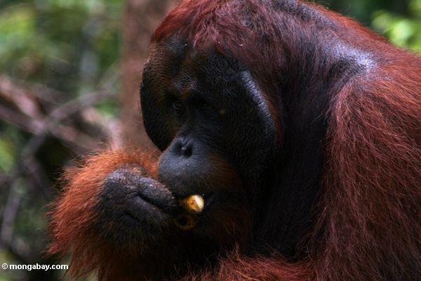 Ex-Gefangener Erwachsener männlicher Borneo Orangutan (Pongo pygmaeus) eine Banane Kalimantan