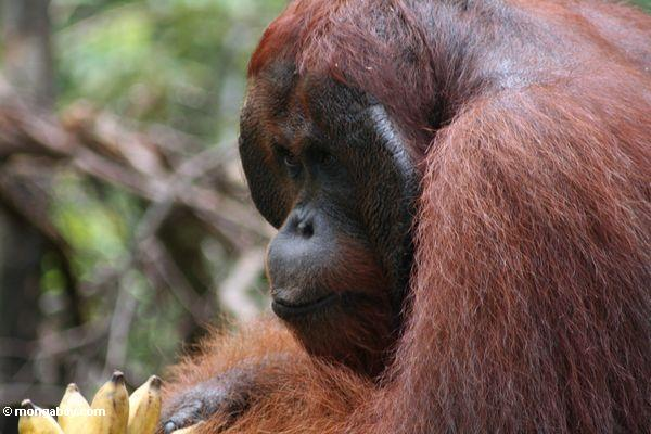 Erwachsener männlicher Borneo Orangutan (Pongo pygmaeus) bei Pondok Tanggui