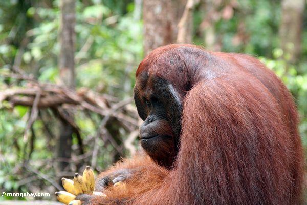 Erwachsener männlicher Borneo Orangutan (Pongo pygmaeus) mit Bananen bei Pondok Tanggui