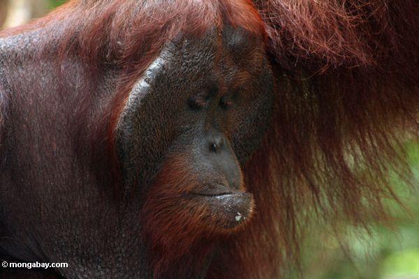 Rehabilitierter Erwachsener männliches Orangutan bei Pondok Tanggui