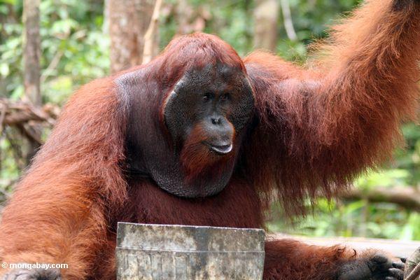 Glücklicher rehabilitierter Erwachsener männliches Orangutan bei Pondok Tanggui