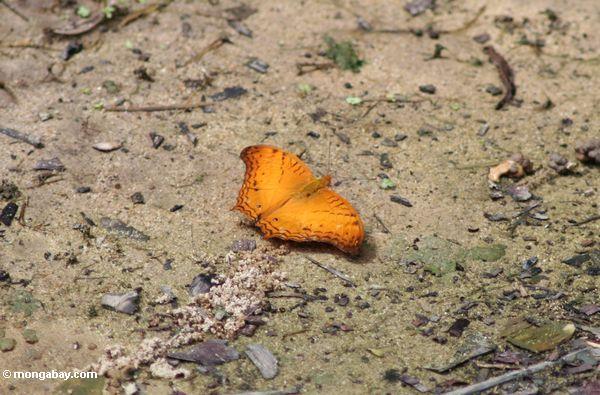 Orange Schmetterling in Borneo