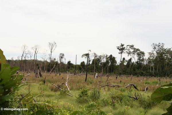 Schrägstrich-und-gebrannter Flecken nahe Tanjung Puting Nationalpark