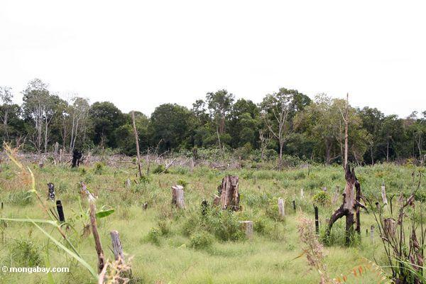 Verkohlte Stümpfe verließen nach Schrägstrich-und-brennen vom Torfsumpfwald