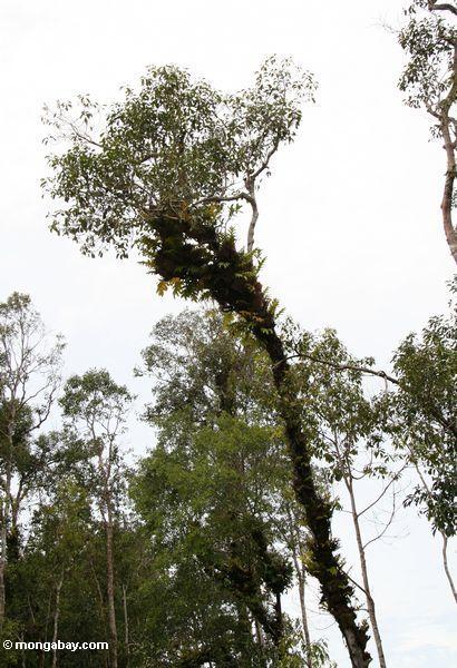 Epiphyte-beladener überdachungbaum