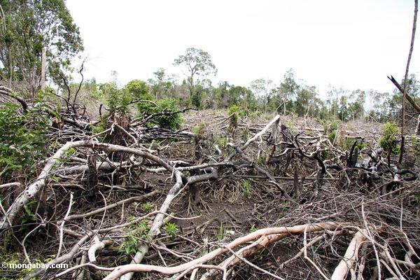 Flecken des Regenwaldes, der in Borneo Kalimantan,