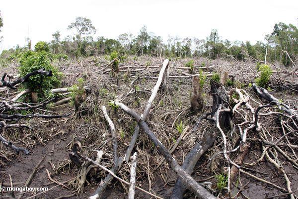 Verkohlte Reste eines Abschnitts von tropischem rainforest, das Schrägstrich-und-gebrannt worden ist für, swidden Landwirtschaft
