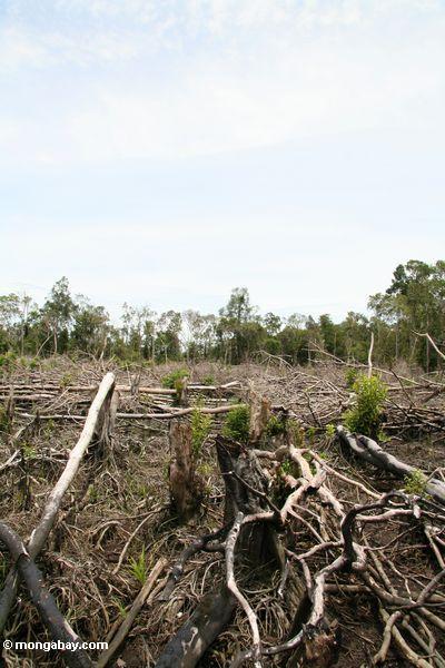 Landwirtschaft im Regenwald von Borneo Kalimantan