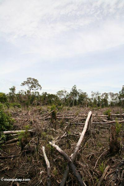 Landwirtschaft im Borneo Dschungel Kalimantan