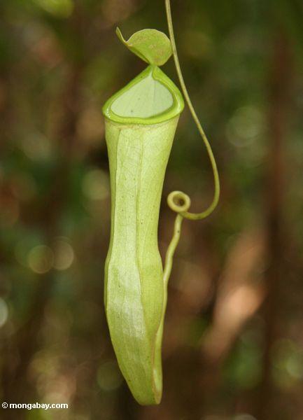 Nepenthes reinwardtiana Kannenpflanze in Borneo rainforest