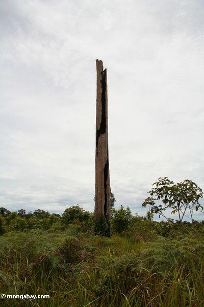 Baumstumpf in entwaldetem Bereich