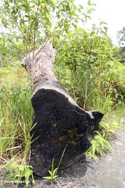 Felled überdachungbaum, gelassen für Vergeudung in Borneo