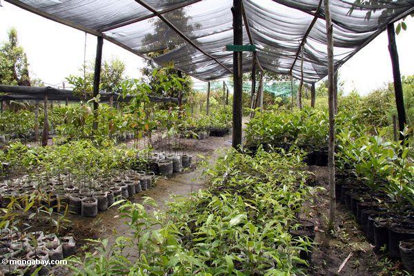 Baumsämlinge an der Aufforstung projizieren sich in Tanjung Puting Nationalpark