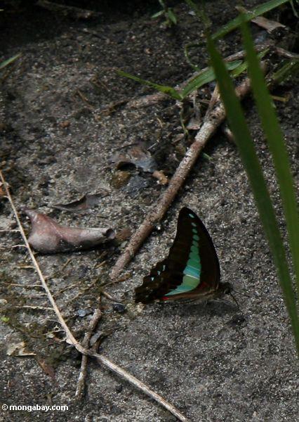 Schwarzer Schmetterling mit hellen blauen Markierungen auf den underwings und rote und weiße Abschnitte auf den Flügeln nähern sich dem Abdomen