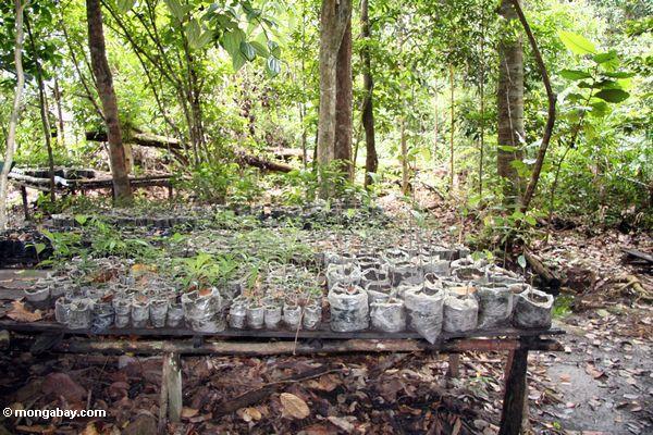 Rainforest Baumsämlinge an der Aufforstung projizieren sich in Tanjung Puting Nationalpark