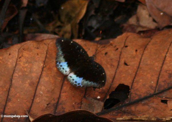 Schwarzer Schmetterling mit den blauen Flügelabschnitten, stehend auf einem gefallenen Blatt auf dem Waldfußboden