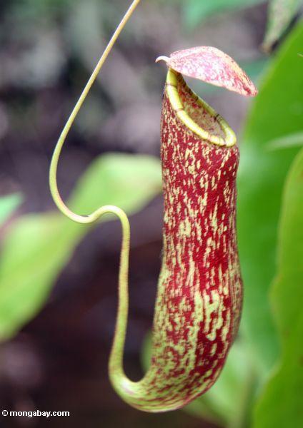 Rote Kannenpflanze (Nepenthes rafflesiana)