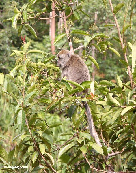 Lang-angebundenes macaque (Macaca fascicularis) in einem Obstbaum