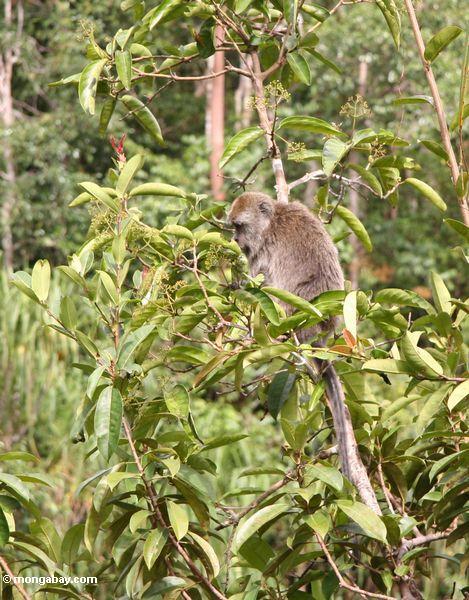 краб-обезьяна ест (macaca fascicularis) в плодовых деревьев