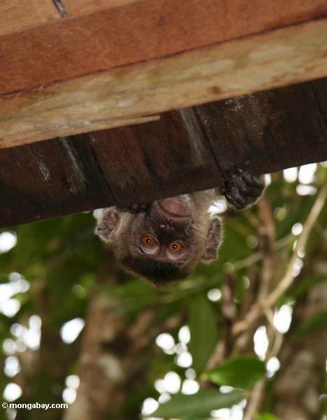 das Lang-angebundene macaque, das über ein Dach so nur sein Kopf späht, ist sichtbares