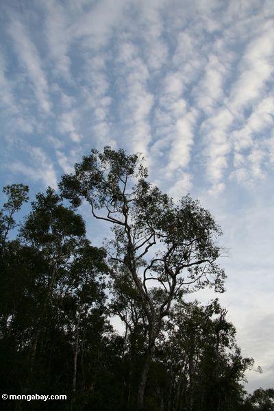 Überdachungbaum entlang dem Seikonyer Fluß