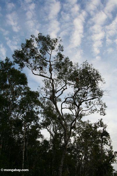 Überdachungbaum mit Proboscisaffen