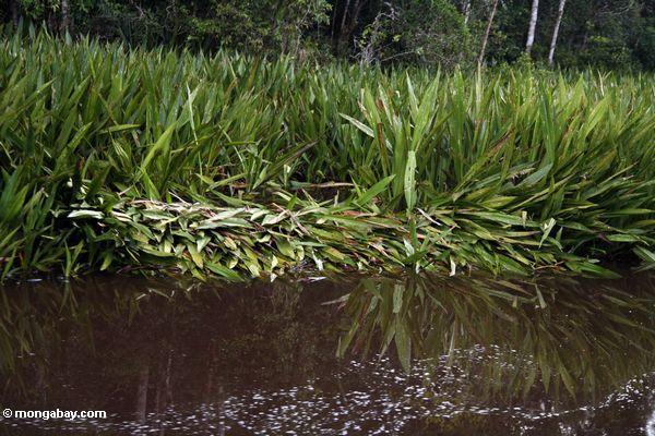 Krokodilnest entlang dem Sekonyer Fluß