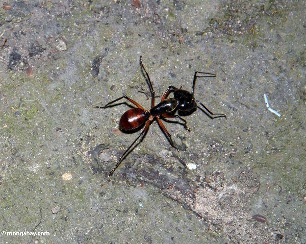 Große Ameise in Borneo rainforest