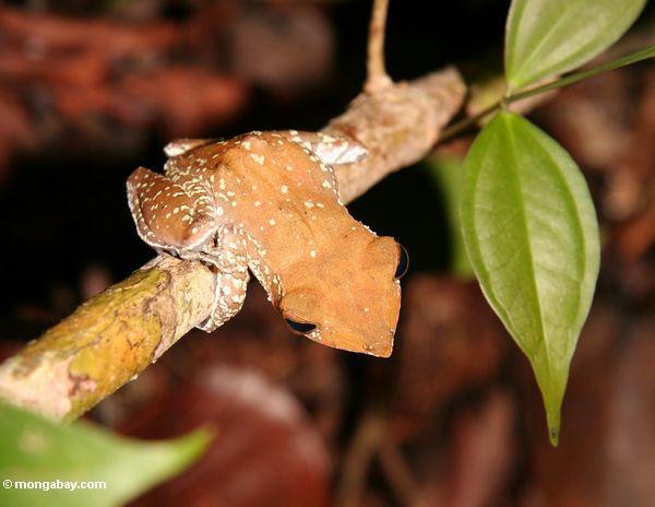 Baumfrosch im Borneo rainforest