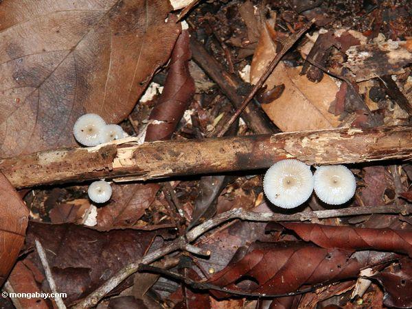 Weiße Pilze, die um das Verrotten hölzernes Kalimantan